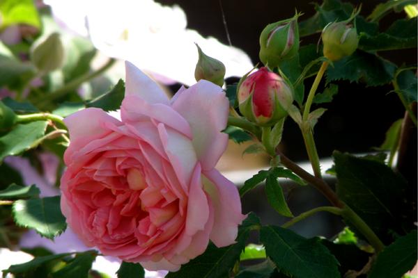 Jubilee Celebrtion Englesk rose fra David Austin Roses