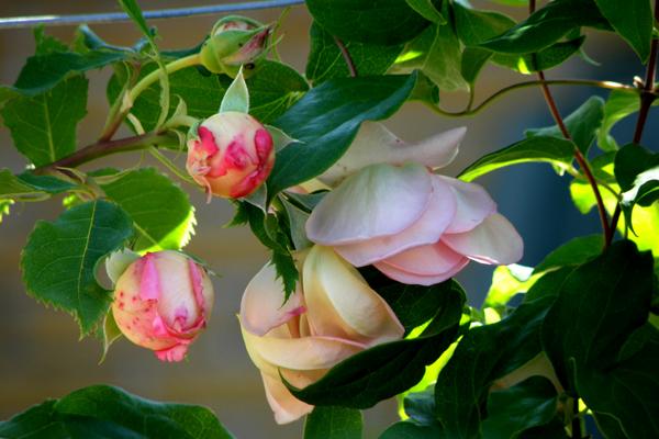 Jubilee Celebration -en engelsk rose - skønhed og forfald