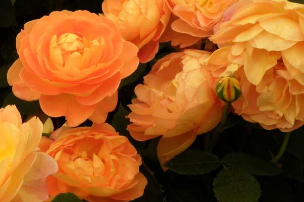 Lady of Sharlott - engelsk rosen skønhed fra David Austin Roses