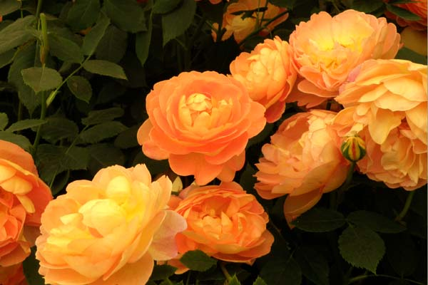 Ny smuk rose fra David Austin Roses - engelsk rose Lady of Shalott
