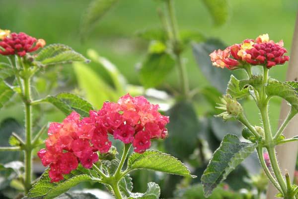 Lantana er en smuk og farverig plante