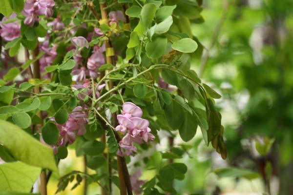 Smuk blomstrende rosen Rhobinie