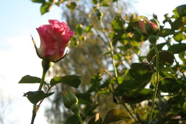 Smuk knop slet ikke som andre engelske roser