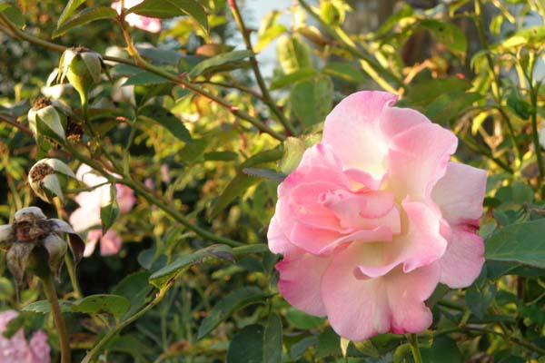 De smukke blomster på Marinette - ligner ingen anden engelsk rose