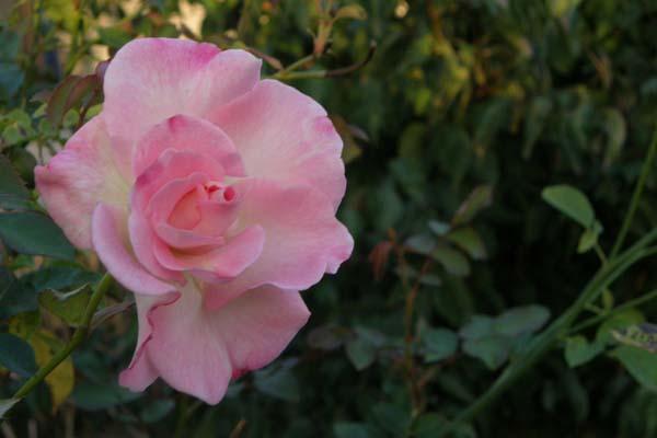 Denne skønne blomst fra Marinette viser sin sensommerskønhed frem
