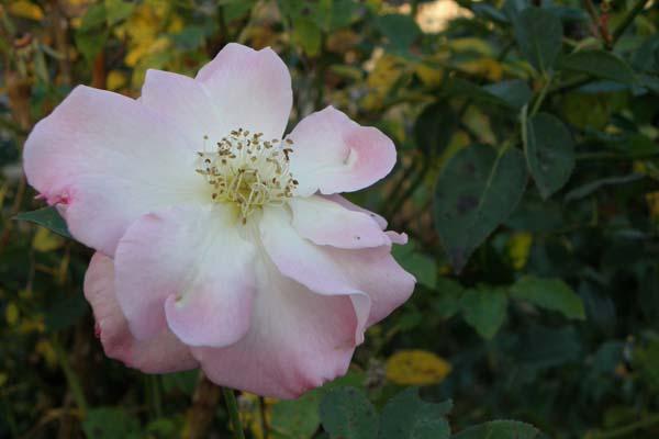 Forfaldet ved denne flotte engelske rose Marinette er helt fantastisk