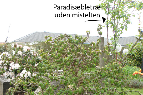 Paradisæbletræ uden mistelten