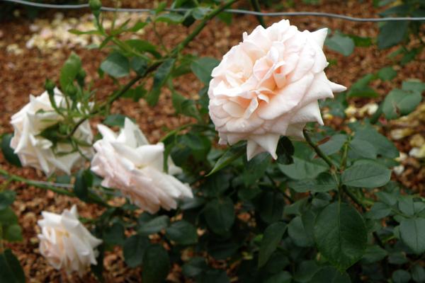 Penny Lane på espalier mellem rosenbedet og terrassen