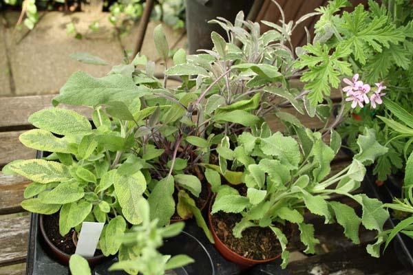 Salvia i mange afskygninger er så smukt