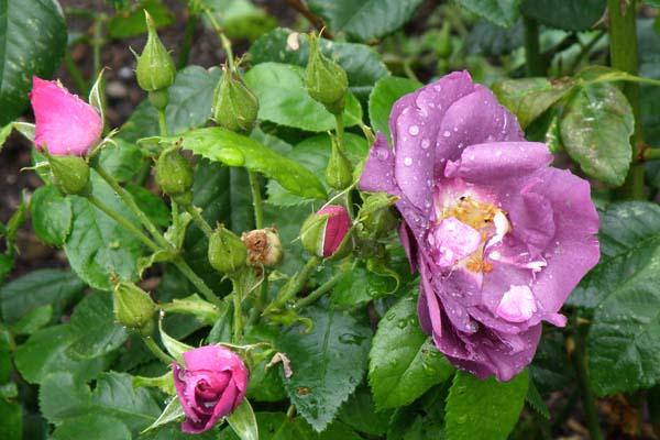 Rhapsody in blue fra tidelig knop til fuldt udsprunget blomst