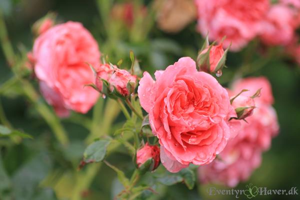 rosarium-uestersen-stemmed-rose