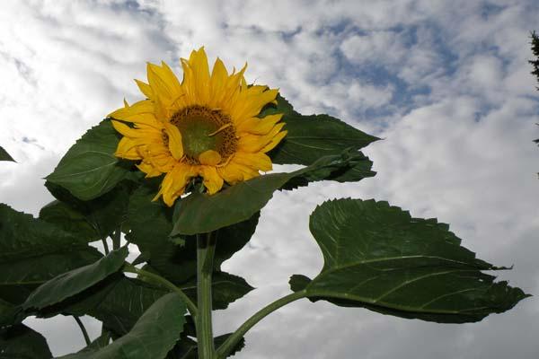 Den store solsikke i haven