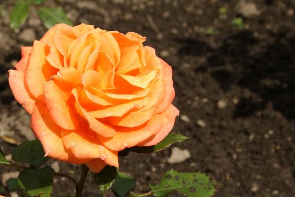 Denne skønne og dejlige rose med dyb glød er ingen anden ind Flora Danic