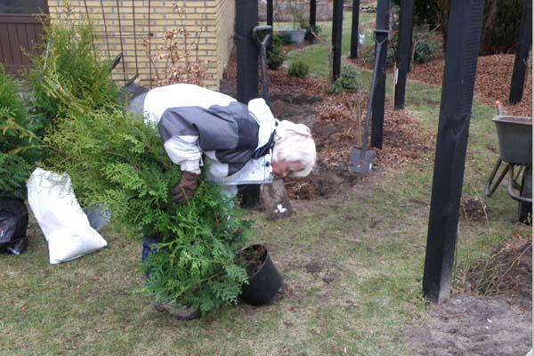 Annette i fuld gang med at plante thuja