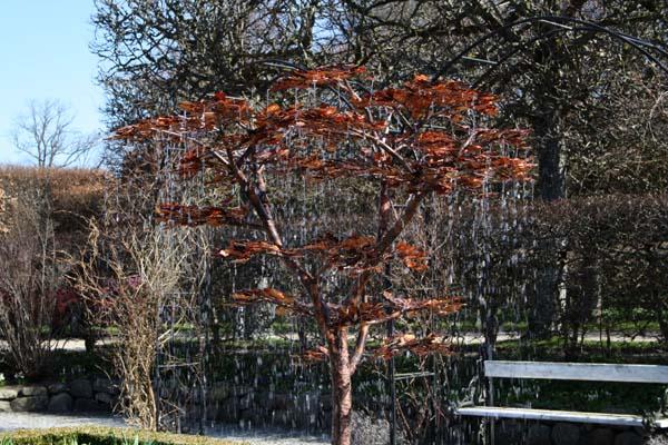 Titanias trækrone er helt eventyrlig når vandet og bladene glimter i solen