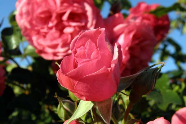 skøn og aldeles smuk rose - Rosarium Uetersen