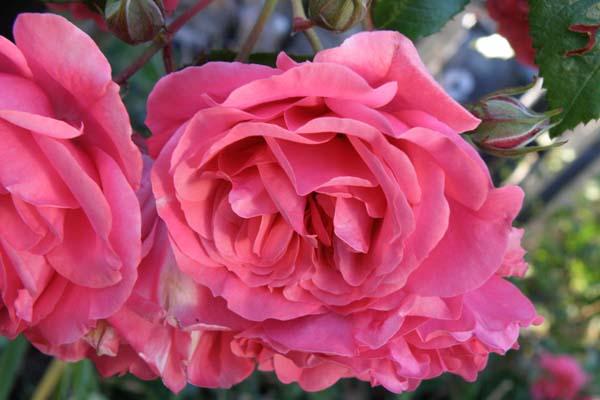 Denne dejlige Rosarium Uetersen - danner skønne klaser med blomster